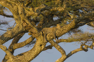Africa. Tanzania. African leopard (Panthera pardus) napping in a tree in Serengeti NP