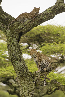 Africa. Tanzania. African leopard (Panthera pardus) mother and cub in a tree in
