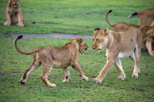 Africa. Tanzania. African lion cubs (Panthera leo) mock fighting at Ndutu in Serengeti NP
