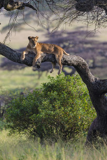 Africa. Tanzania. African lion female (Panthera leo) in tree Serengeti NP