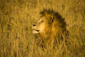 Africa. Tanzania. African lion male (Panthera leo) in Serengeti NP