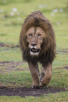 Africa. Tanzania. African lion (Panthera leo) at Ngorongoro crater in the Ngorongoro