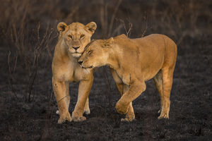 Africa. Tanzania. African lions (Panthera leo) patrol a recently burned wildfire