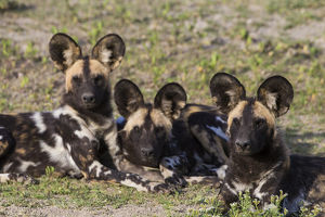 Africa. Tanzania. African wild dogs (Lycaon pictus), an endangered species, in Serengeti