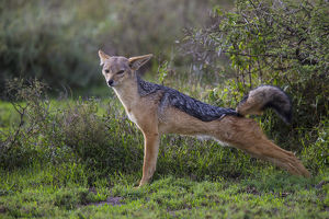 Africa. Tanzania. Black-backed jackal (Canis mesomelas) stretches after a nap in
