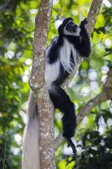 Africa. Tanzania. Black and White Colobus, also known as mantled guereza (Colobus