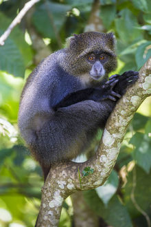 Africa. Tanzania. Blue Monkey, or diademed monkey (Cercopithecus mitis) at Arusha NP