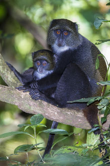 Africa. Tanzania. Blue Monkey, or diademed monkey (Cercopithecus mitis) female with