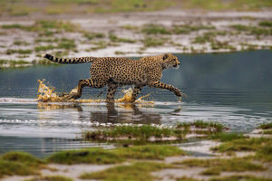 Africa. Tanzania. Cheetah (Acinonyx jubatus) crosses some water at Ndutu in Serengeti NP