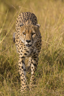 Africa. Tanzania. Cheetah (Acinonyx jubatus) hunting on the plains of the Serengeti