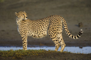 Africa. Tanzania. Cheetah (Acinonyx jubatus) at Ndutu in Serengeti NP