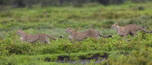 Africa. Tanzania. Cheetahs (Acinonyx jubatus) hunting on the plains of the Serengeti