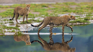 Africa. Tanzania. Cheetahs (Acinonyx jubatus) cross some water at Ndutu in Serengeti NP