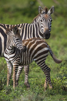 Africa. Tanzania. Female Zebra (Equus quagga) with colt in Serengeti NP