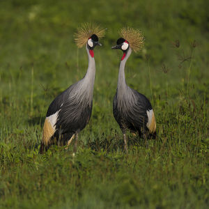 Africa. Tanzania. Grey crowned cranes (Balearica regulorum) at Ngorongoro crater