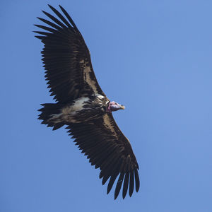 Africa. Tanzania. Lappet-faced vulture (Torgos t. tracheliotus) in Serengerti NP