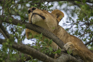 Africa, Tanzania, Lion in tree