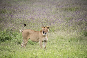 Africa, Tanzania. Lioness in flowery grass