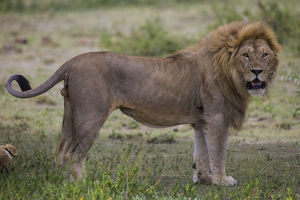 Africa. Tanzania. Male African lion (Panthera leo) at Ndutu in Serengeti NP