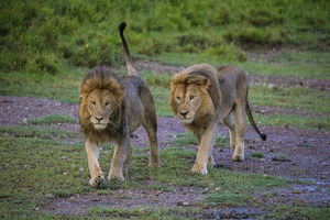 Africa. Tanzania. Male African lions (Panthera leo) at Ndutu in Serengeti NP