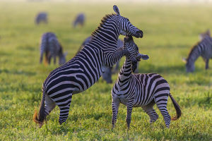 Africa. Tanzania. Male Zebra stallions (Equus quagga) fighting in Serengeti NP