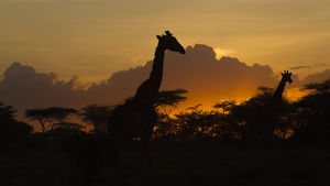 Africa. Tanzania. Masai giraffes (Giraffa tippelskirchi) at sunset at Ndutu in Serengeti