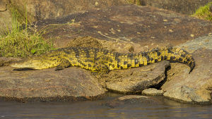 Africa. Tanzania. Nile crocodile (Crocodylus niloticus) basks in the sun at the Mara