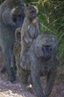 Africa. Tanzania. Olive baboon (Papio anubis) female with baby at Arusha NP