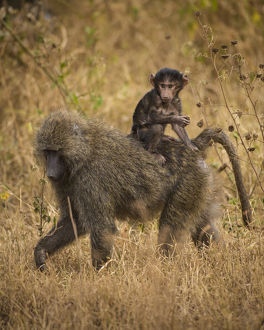 Africa. Tanzania. Olive baboon (Papio anubis) female with baby at Serengeti NP