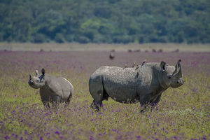 Africa, Tanzania. Rhino mother and juvenile