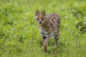 Africa. Tanzania. Serval cat (Leptailurus serval) hunting in Serengeti NP