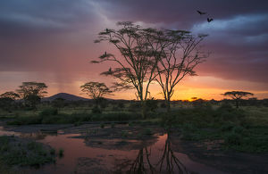 Africa. Tanzania. Sunset lights up a flock of Marabou storks in a marsh in Serengeti NP