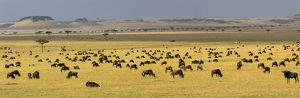 Africa. Tanzania. A vast Wildebeest herd during the annual Great Migration in Serengeti