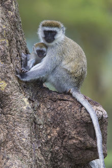 Africa. Tanzania. Vervet monkey (Chlorocebus pygerthrus) female and juvenile at Ngorongoro