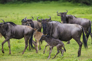 Africa. Tanzania. Wildebeest birthing during the annual Great Migration in Serengeti NP