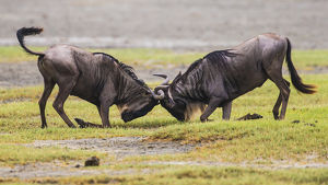 Africa. Tanzania. Wildebeest fighting during the annual Great Migration in Serengeti NP