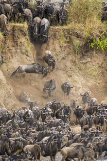 Africa. Tanzania. Wildebeest herd crossing the Mara river during the annual Great