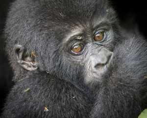 Africa, Uganda, Bwindi Impenetrable Forest and National Park