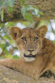 Africa, Uganda, Ishasha, Queen Elizabeth National Park. Lioness, (Panthera leo) in tree