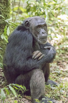 Africa, Uganda, Kibale Forest National Park. Chimpanzee (Pan troglodytes) in forest