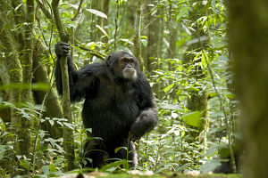 Africa, Uganda, Kibale National Park, Ngogo Chimpanzee Project