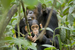 Africa, Uganda, Kibale National Park, Ngogo Chimpanzee Project. While his mom eats