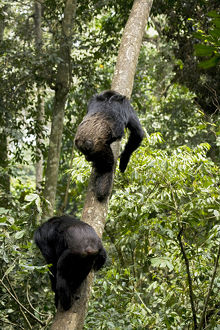 Africa, Uganda, Kibale National Park, Ngogo Chimpanzee Project. Natural climbers