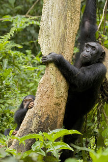 Africa, Uganda, Kibale National Park, Ngogo Chimpanzee Project. A female chimpanzee