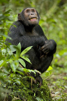 Africa, Uganda, Kibale National Park, Ngogo Chimpanzee Project. Observing his surroundings