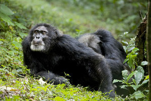 Africa, Uganda, Kibale National Park. Ngogo Chimpanzee Project