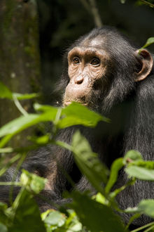 Africa, Uganda, Kibale National Park, Ngogo Chimpanzee Project. Adolescent male chimpanzee