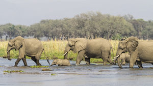 Africa, Zambia. Adult and young elephants walking in river