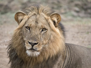 Africa, Zambia. Alert adult lion. Credit as: Bill Young / Jaynes Gallery / DanitaDelimont
