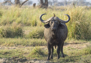 Africa, Zambia. Cape buffalo male close-up